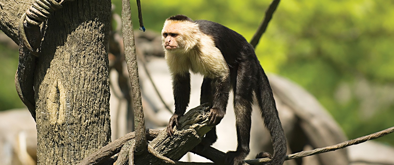 capuchin monkeys|fort wayne children's zoo