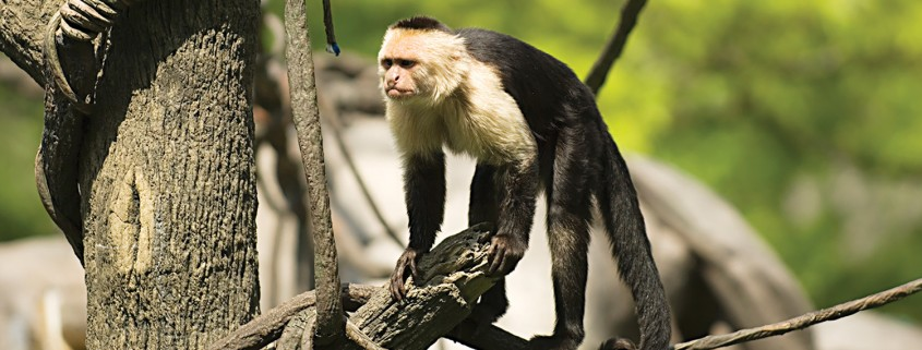 capuchin monkeys|fort wayne children's zoo