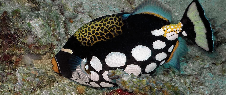 fort wayne children s zoo clown triggerfish