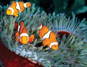 clownfish-for-web-300px-wide
