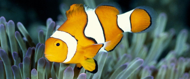 Fort wayne children 39 s zoo percula clownfish for Clown fish adaptations