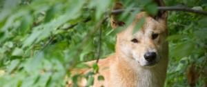 dingo|fort wayne children's zoo