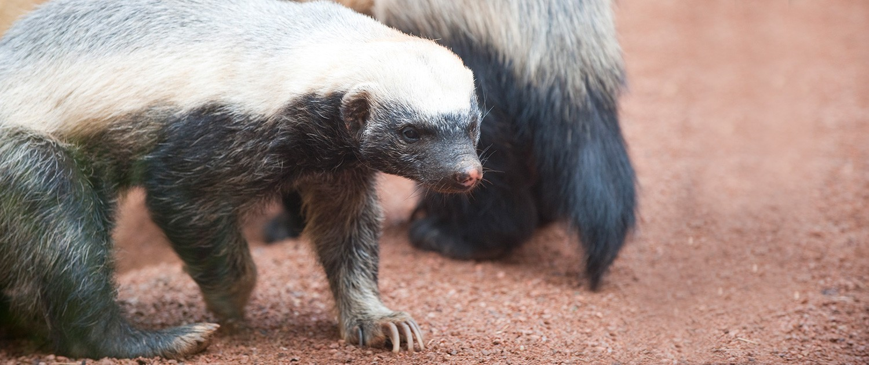 Fort Wayne Childrens Zoo Honey Badger
