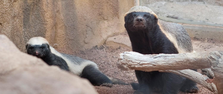 honey badgers|fort wayne children's zoo