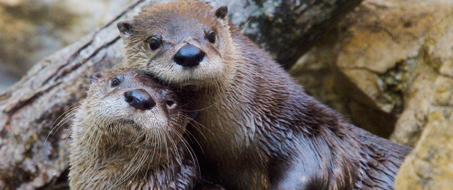 otters|fort wayne children's zoo