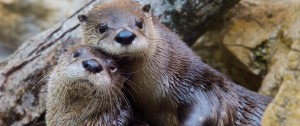 otters|fort wayne children's zoo