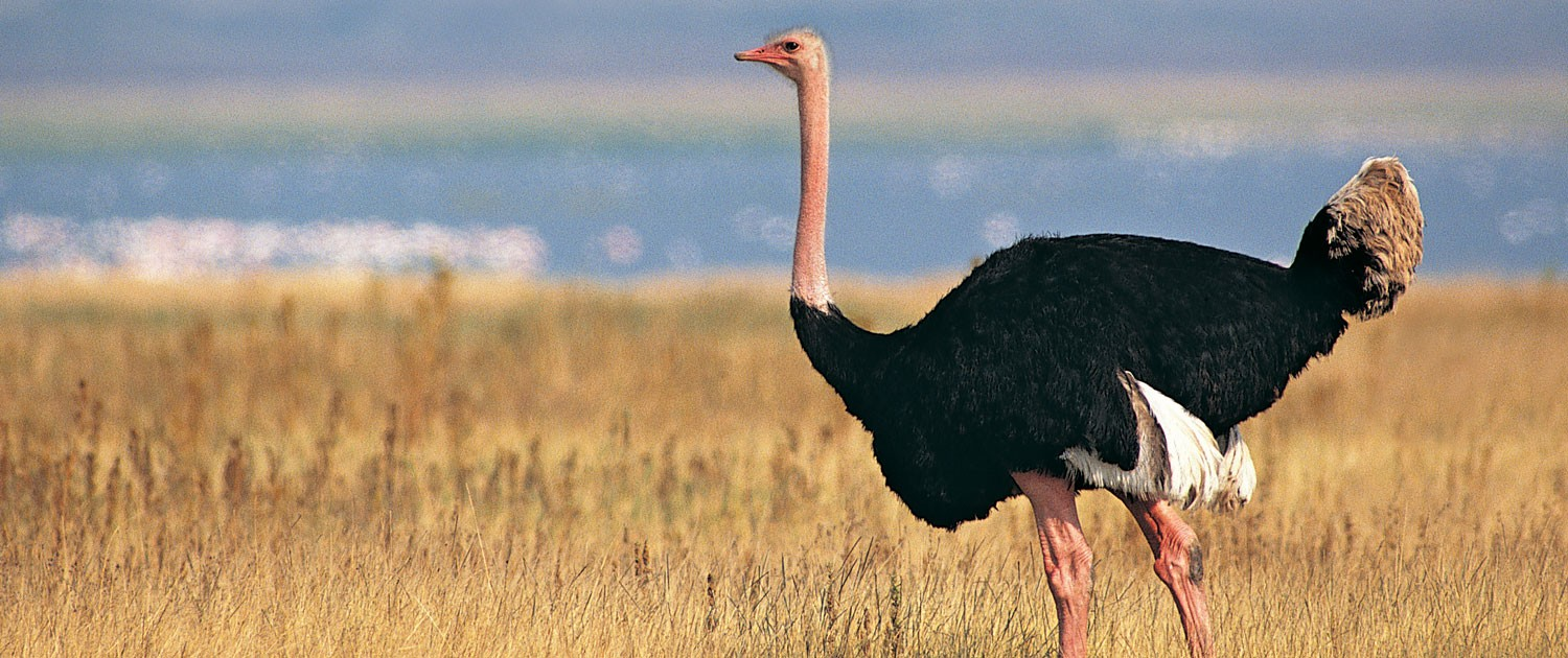 Image result for Ostrich