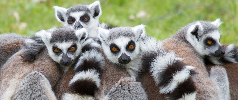 fort wayne children s zoo ring tailed lemur