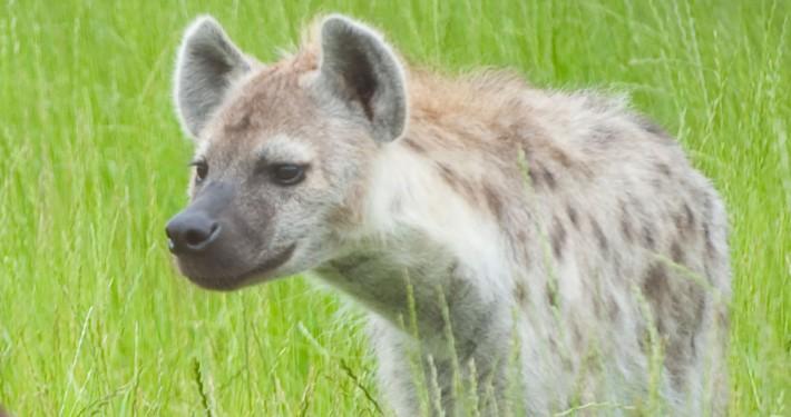hyena|fort wayne children's zoo