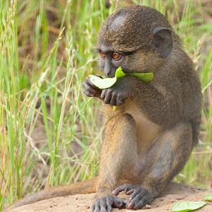 Swamp Monkey