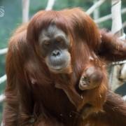 orangutans fort wayne zoo