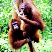 Wild Orangutans on vines