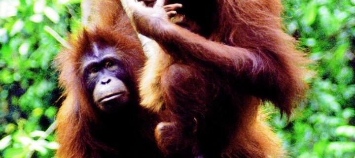 Wild Orangutans on vines