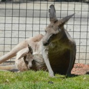 joey in kangaroo pouch