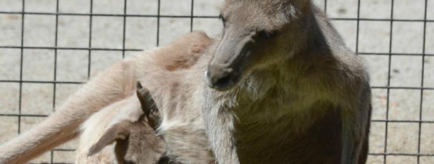 joey in kangaroo pouch