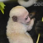 colobus monkey baby