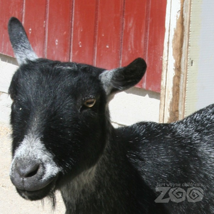 Goat close up with watermark|fort wayne children's zoo
