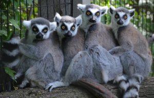 lemur|fort wayne children's zoo