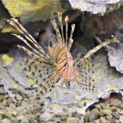 lionfish|fort wayne children's zoo