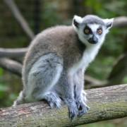 Madi the lemur 600x600