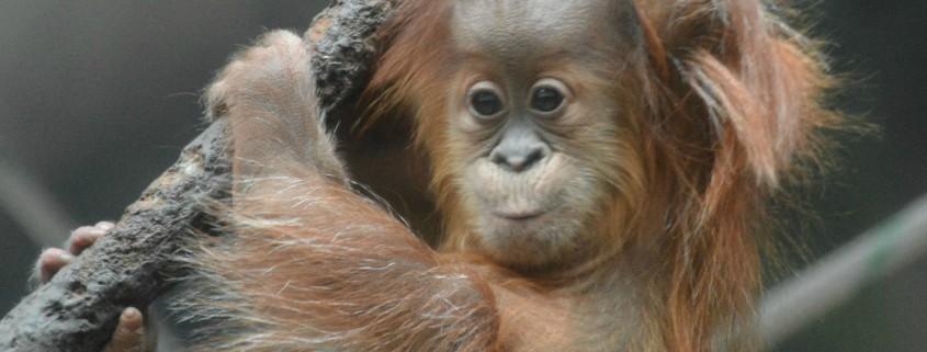 orangutan fort wayne