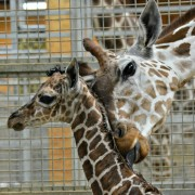 Baby giraffe|fort wayne children's zoo