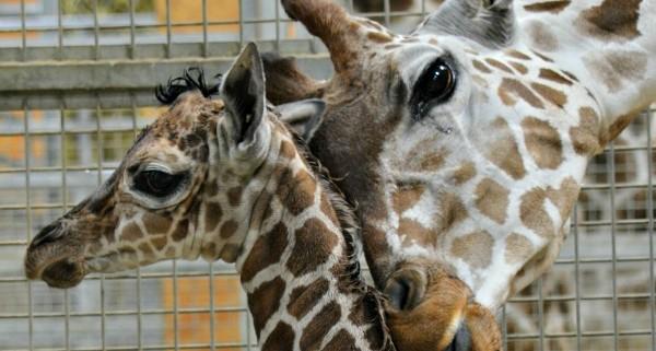 Baby giraffe|fort wayne children's zoo
