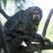 Saki monkey female|fort wayne children's zoo