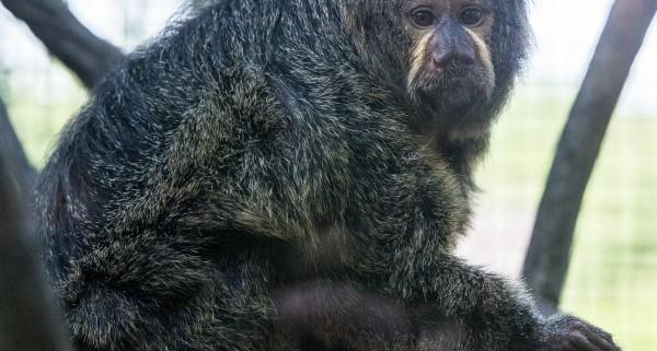 Saki monkey female fort wayne children's zoo
