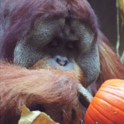 Tengku the orangutan digs for tasty seeds inside a pumpkin (2)