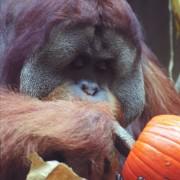 Tengku the orangutan digs for tasty seeds inside a pumpkin (2)
