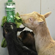 goat food enrichment puzzle feeder