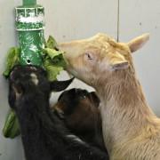 goat food enrichment puzzle feeder
