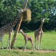 baby giraffe first day on exhibit|fort wayne childrens zoo