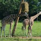 kiango giraffe first day on exhibit