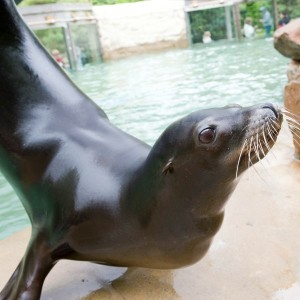 Sea lions learn a variety of trained behaviors.