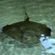 southern stingray|fort wayne zoo