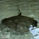 A large southern stingray swims at the Fort Wayne Children's Zoo's Stingray Bay.
