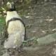 penguin molting fort wayne zoo