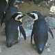 penguins preening fort wayne zoo