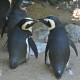 penguins preening fort wayne zoo