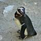 juvenile black-footed penguin fort wayne zoo