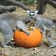 lemurs pumpkins