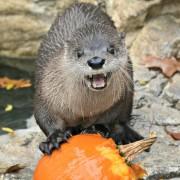 otter pumpkin