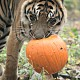 tiger pumpkin zoo