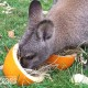 wallaby pumpkin