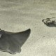 A cownose ray swims while a juvenile southern stingray burrows in the sand at the Fort Wayne Children's Zoo.