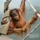 orangutan fort wayne zoo