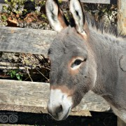 The zoo is home to two miniature donkeys.