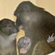 baby swamp monkey fort wayne